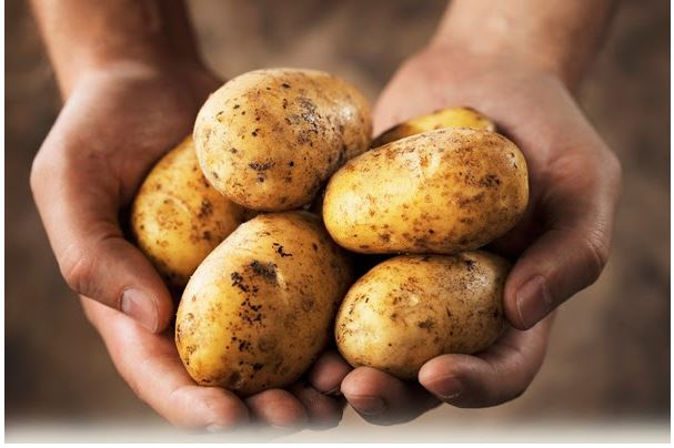 thu hoạch khoai tây từ củ giống khoai tây
