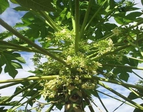 Hoa được thu hái từ cây đu đủ đực