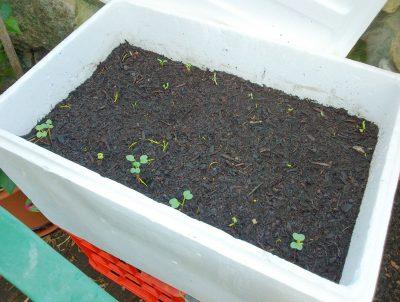 hộp xốp trồng rau cải xoăn