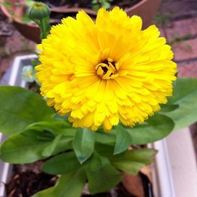 Bán hạt giống hoa cúc xuxi ở hà nội