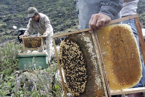 phân biệt mật ong bạc hà