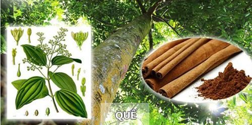 chăm sóc và bảo vệ cây quế