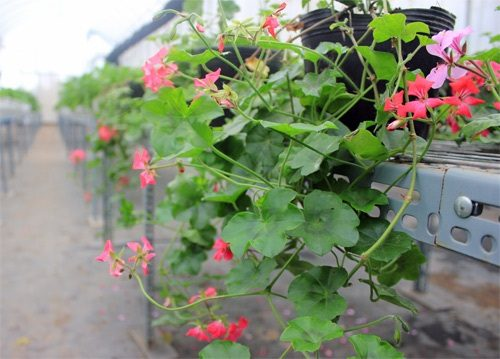 hạt giống hoa phong lữ thảo rủ