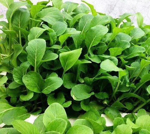 Kỹ thuật trồng rau cải ngọt