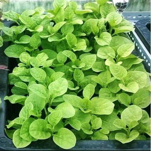 trồng rau dền xanh lá tròn