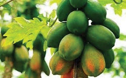Cây đu đủ được trồng nhiều ở nước ta
