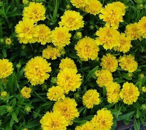 hoa cúc tiểu quỳ