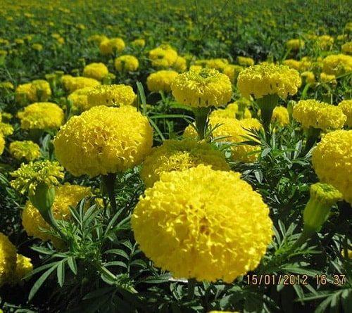 hạt giống hoa cúc vạn thọ