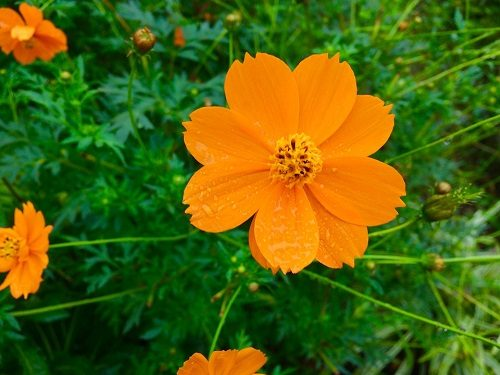 hoa sao nhái