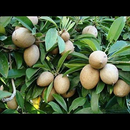 Hồng xiêm là thức quả thơm ngon, dinh dưỡng