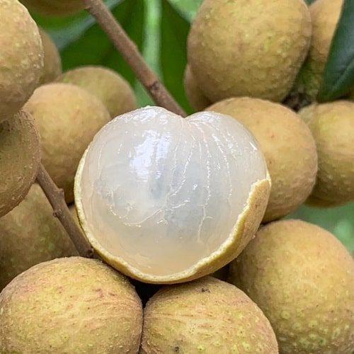 Nhãn lồng có vỏ màu vàng sậm tự nhiên, cùi giòn, hạt nhỏ