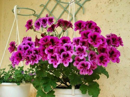 hạt giống hoa phong lữ thảo
