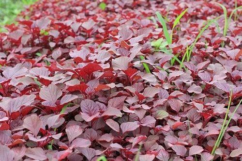 trồng rau dền đỏ