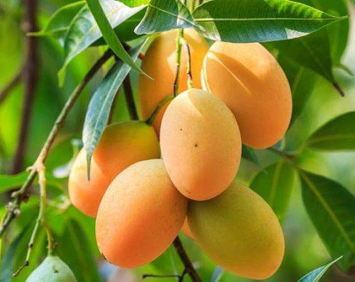 Xoài tượng ngon nhất khi trồng tại Bình Định