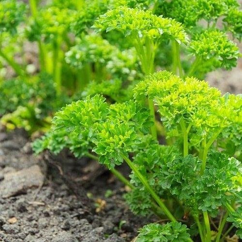 trồng rau mùi tây
