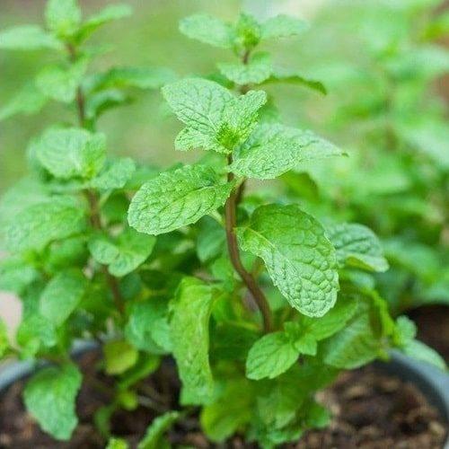 trồng rau húng lủi