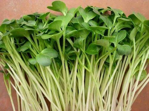 công dụng rau mầm củ cải trắng