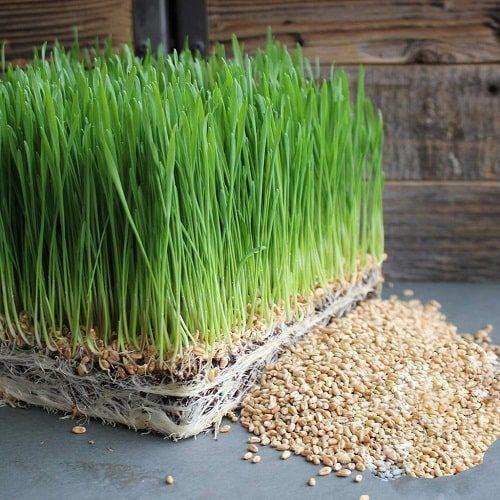 trồng mầm lúa mạch