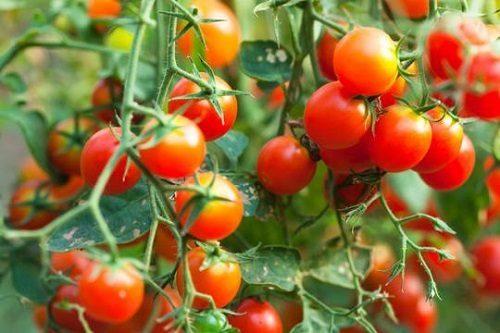 cà chua bi