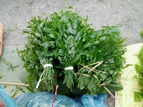 trồng rau sắng