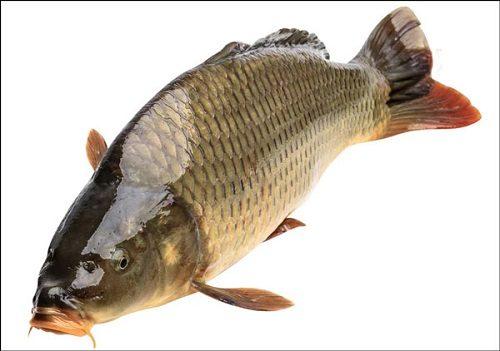 lợi ích khi ăn cá chép
