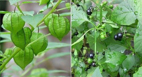 phân biệt rau lulu và rau tầm bóp