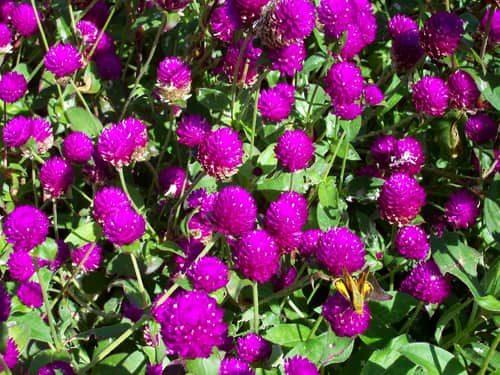 hoa cuc bach nhat