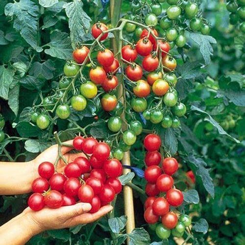 thu hoạch cà chua bi