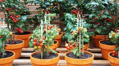 kỹ thuật trồng cà chua bi