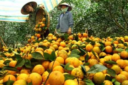 Mua cam cao phong giá chuẩn tại Hà Nội